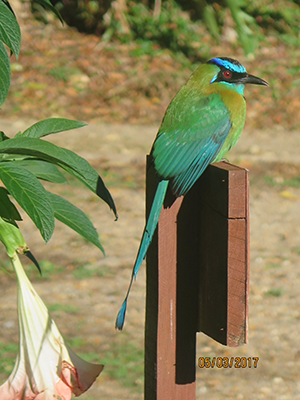 Blue Crowned Motmot bird